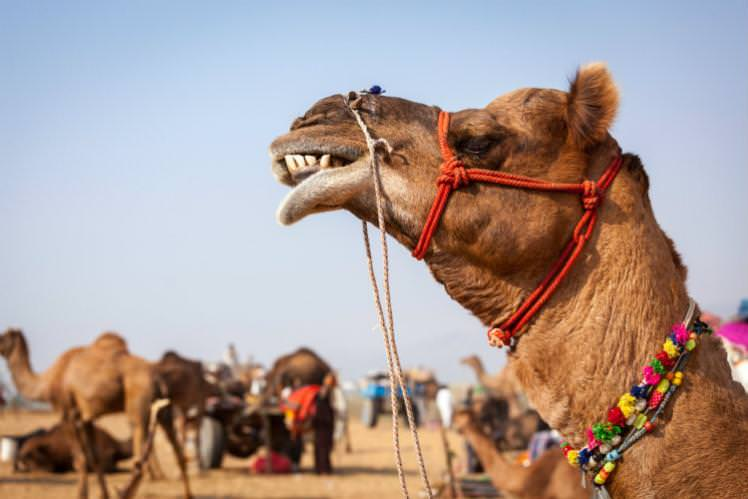 If a camel's giving you the side-eye, you might want to step aside – these spitters have good aim. Image by Dmitry Rukhlenko / Image Source / Getty